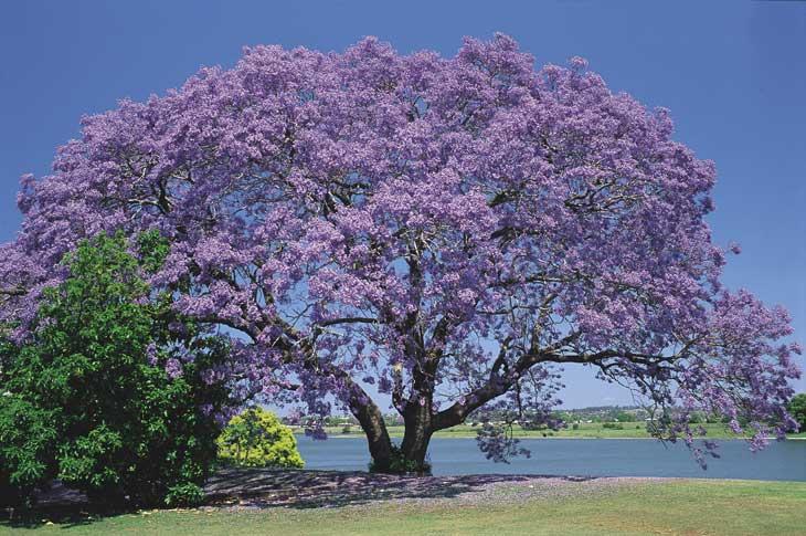 Bonjour à toutes et tous Nsw_nr_jacaranda_bg