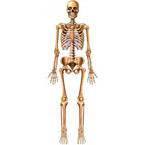உடல் எலும்புகள் பலமாக இருக்க... Bones