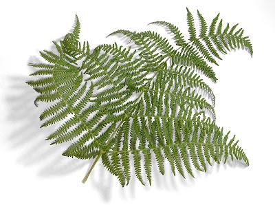 Fraktali - Page 2 Fern-leaf-oliv