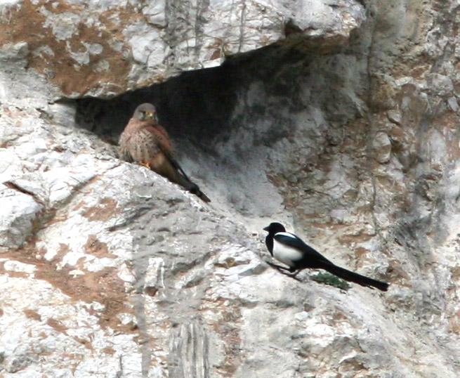 Falconiformes. sub Falconidae - sub fam Falconinae - gênero Falco - Página 2 Vraxok_karak2
