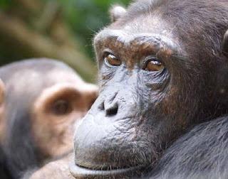 Grands singes, petits singes Chimpanz%C3%A9-Dorothy-2