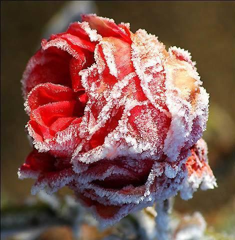 صورة وقصيدة / احاسيس الصور  - صفحة 2 Winter_flower