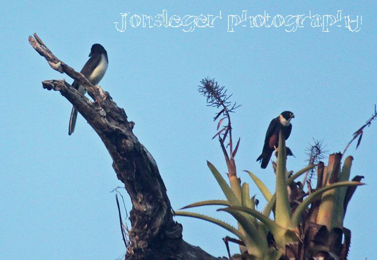Falconiformes. sub Falconidae - sub fam Falconinae - gênero Falco - Página 2 Brown-Jay-%2526-Bat-Falcon%252C-Pue
