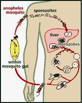 malaria Malariacycle