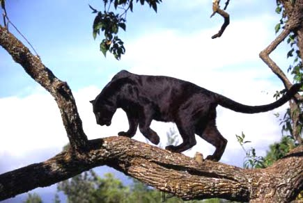 Lo bello de lo salvaje Lepardo-negro1