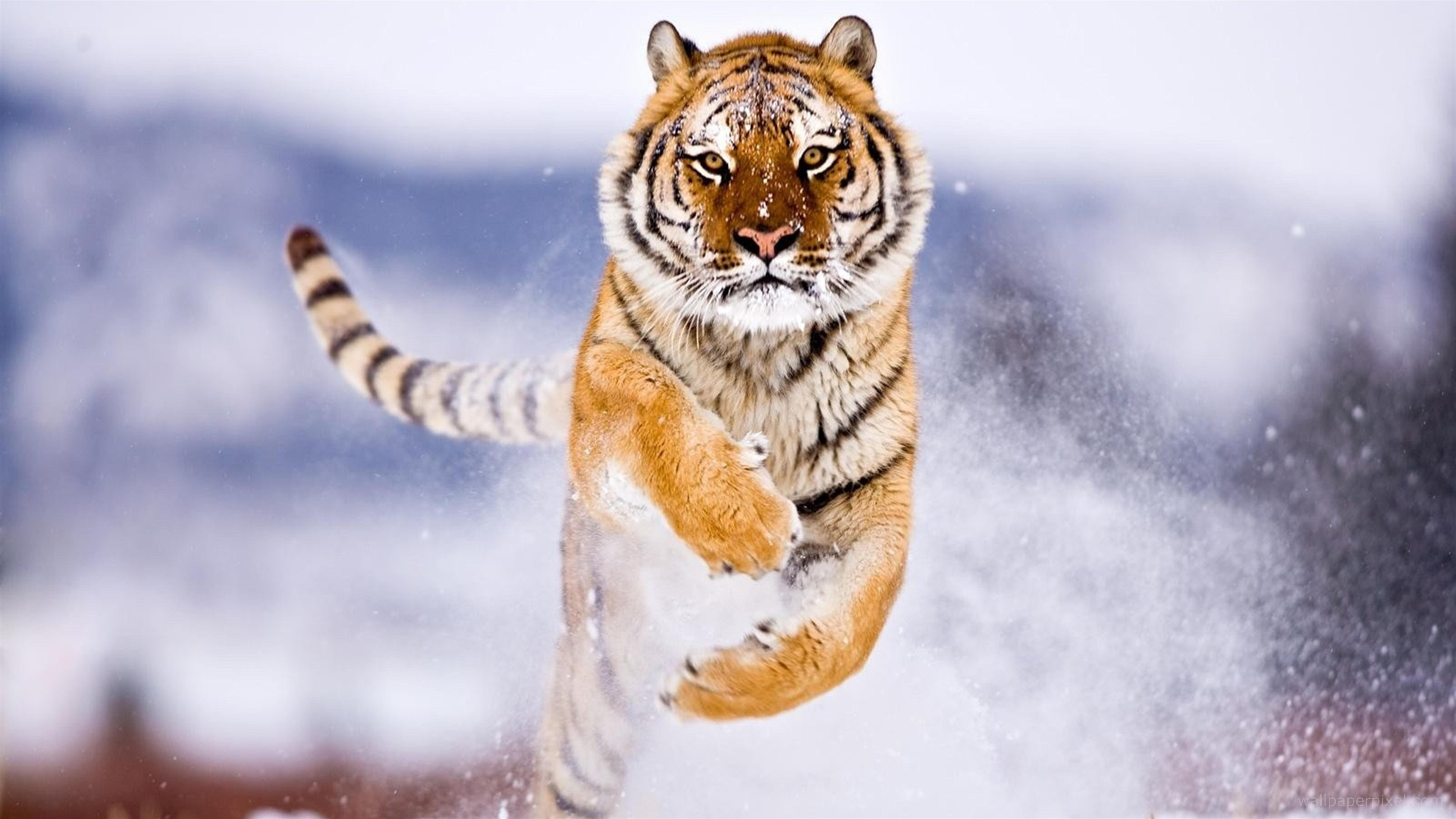 Đời sinh viên phải thử một lần như thế - Page 7 4k-image-tiger-jumping