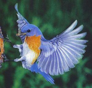 مشنقة العمر  Blue-bird-missouri11