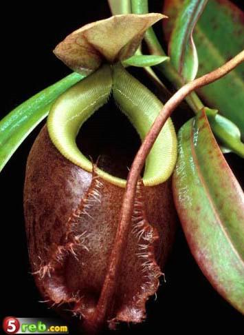 نباتات تأكل الحشرات Carnivorous-Plants-06