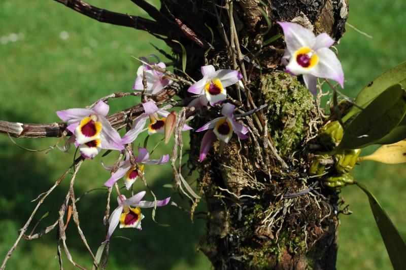 Dendrobium falconeri Cfyd7qvcnhrzqgjed