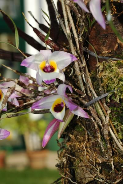 Dendrobium falconeri Cfyd8knxannq23cj9