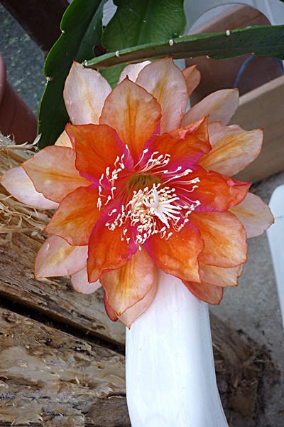 Epiphyllum Co5gusq106c9ejmam