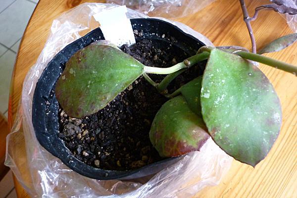 Hoya waymanniae Copr2uvgiur71epz8