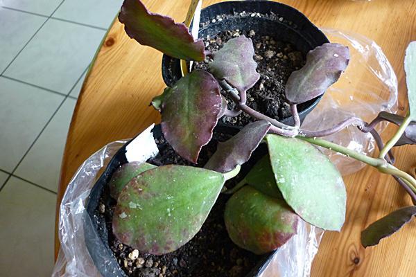 Hoya waymanniae Copr521i0rfhi89hg