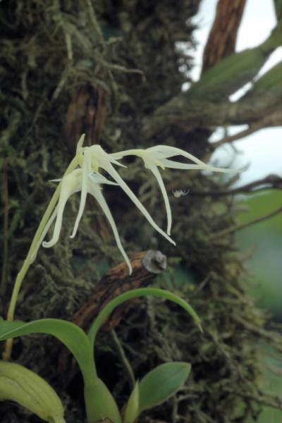 unbekanntes Bulbophyllum Cqeesb9bm4k11m2y1