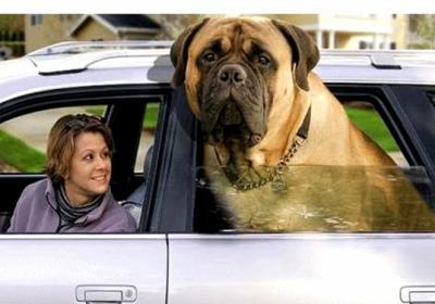 Les chiens les plus , puissants , grands , lourds , petits ,rapides... 1977672751_small_2
