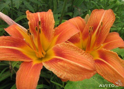 Садовые многолетние цветы - давайте меняться 806236172