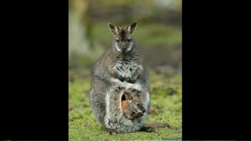 Vlashog gris [T: Mamífero] [L: Arenal] [D: Fácil] Tumblr_inline_oysyz6r1rH1tg04vb_500