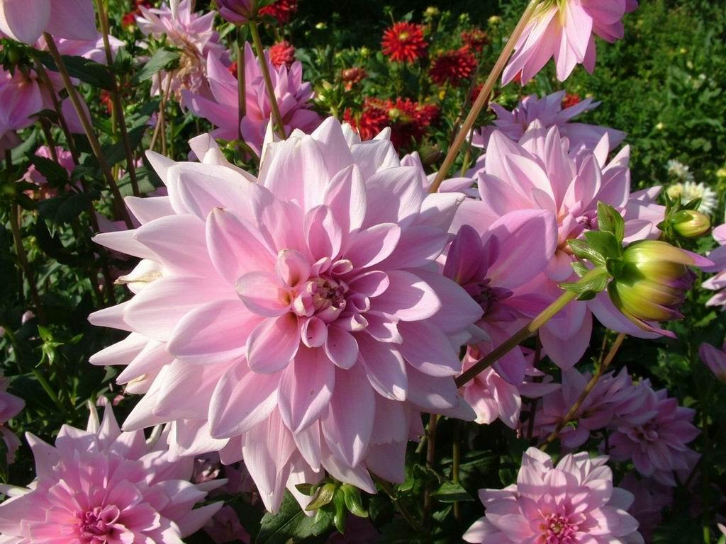 Slike lepog  cveća Dahlia-decorative-tender-pink-flowers