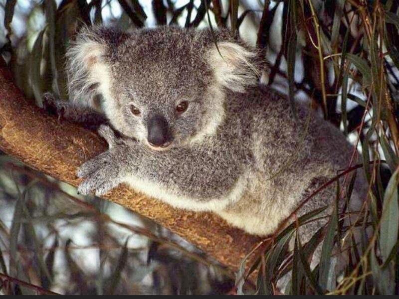 Koale Tree-koala
