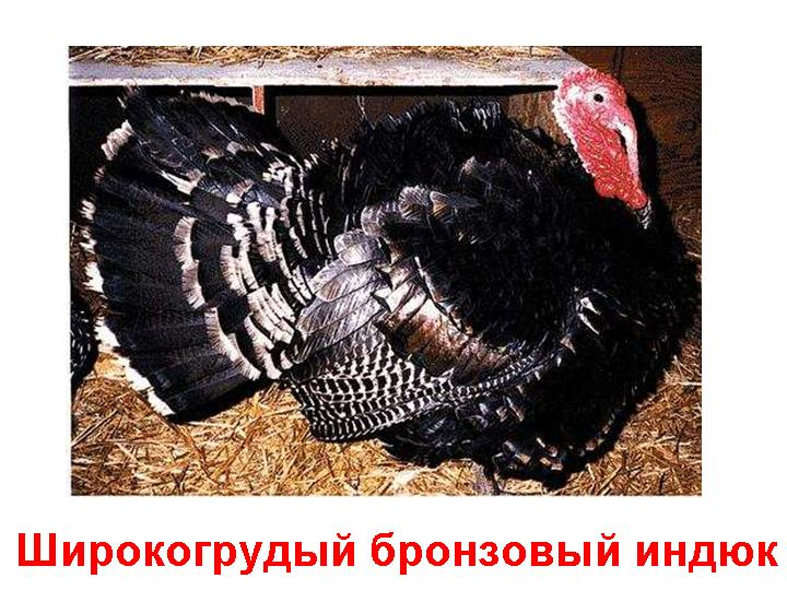 Индюки породы бронзовая широкогрудая 0008-008-SHirokogrudyj-bronzovyj-indjuk