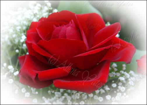 صور لتزين المواضيع و الردود ( همسة امل) Love1st-rose-card