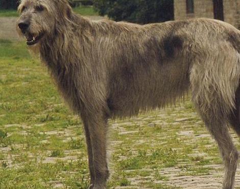 Les animaux - Page 20 Irish_wolfhound