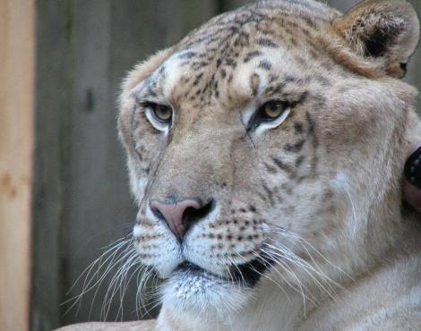 Les animaux - Page 21 Liger