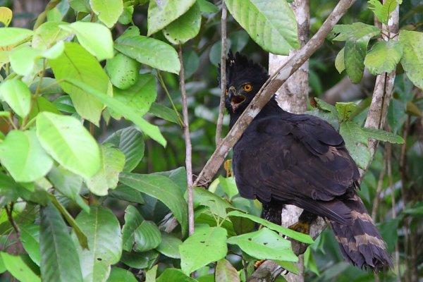 Falconiformes. Família  Acciptridae - Subfamília Buteonidade- Gaviões de penacho. genêro SPIZAETUS 3069302805_1_7_Z7JbRs6Z