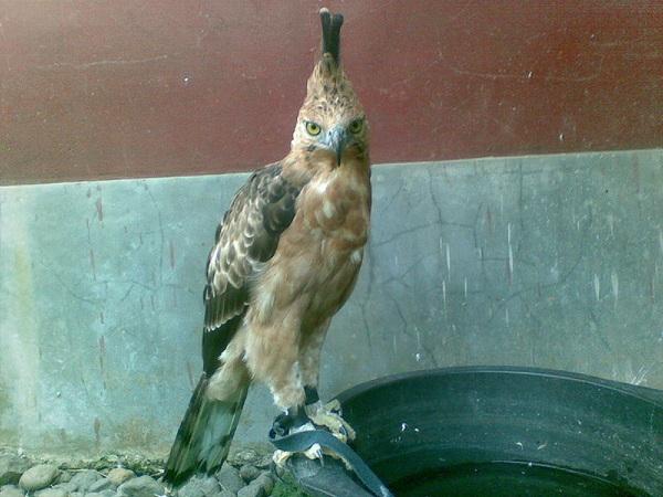 Falconiformes. Família  Acciptridae - Subfamília Buteonidade- Gaviões de penacho. genêro SPIZAETUS E9c38a980463df52ba9c57cb72ce3c2c_view