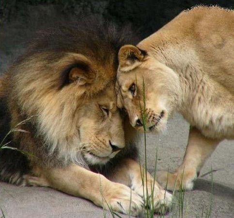 La foi superticieuse Re-lion-et-lionne