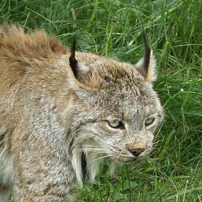 Le porteur des Secrets (le lynx). Lynx-canada-04