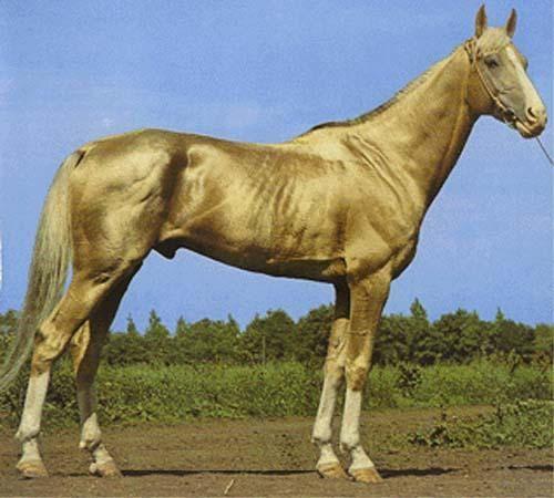 cheval albinos ou pas? Akhalteke-kambar