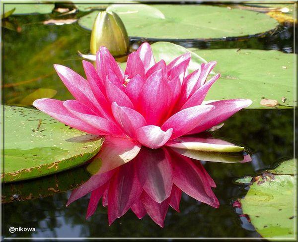 fleurdelotus Fleur-de-lotus07682