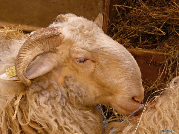 Le culte de Shiva 2011-mouton-race-basco-bearnaise-03