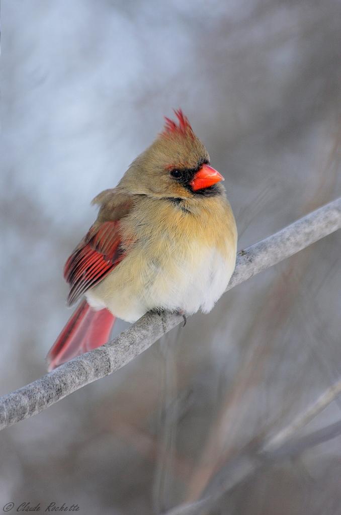 Cardinal rouge femelle 166995993.mcsSomRz.FemelleCardinal_MG_0163