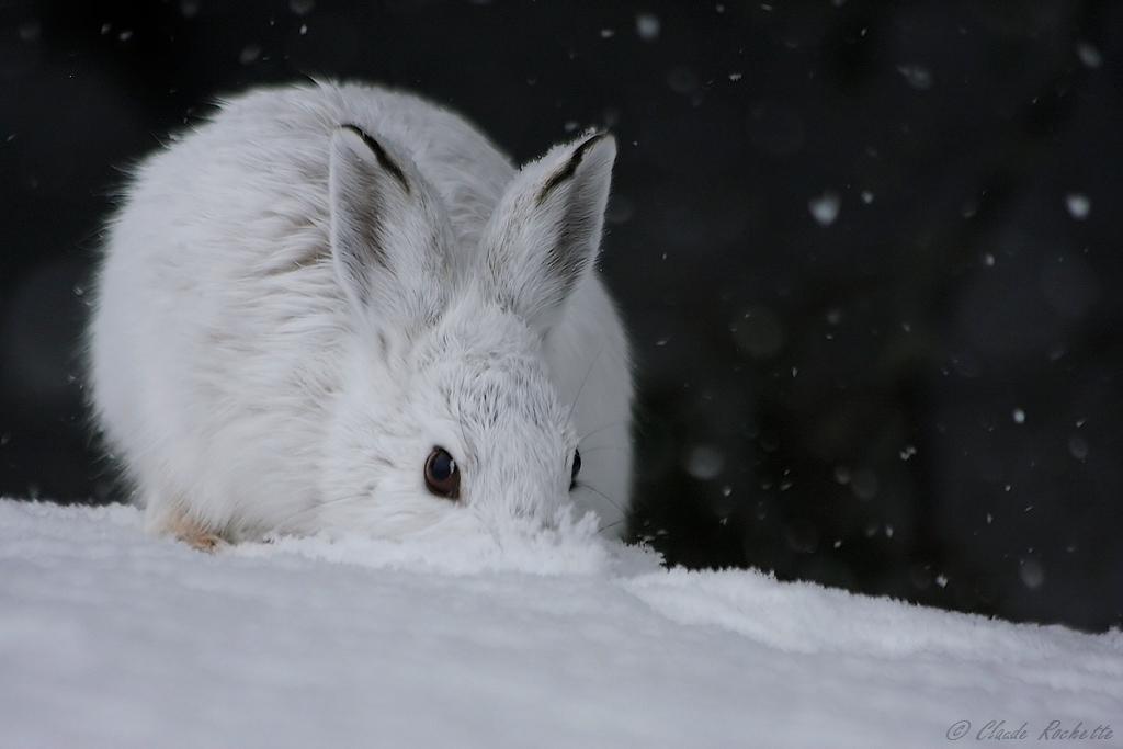 Tentative de camouflage en jouant à l'autruche la tête dans la neige! 167011011.ivKn2bmE.LivredAmrique_MG_7271