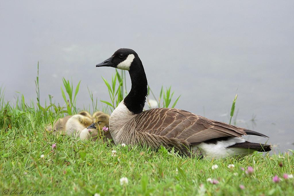 Maman veille sur les petits qi font une sieste! 167702724.H6H0mUrF.BernacheduCanada_MG_1392