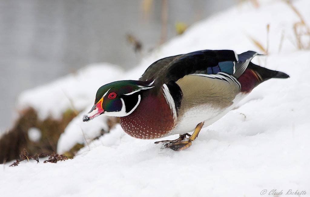 Canard branchu dans la neige! 168386954.Y2tp09Uv.Canardbranchu_MG_4603