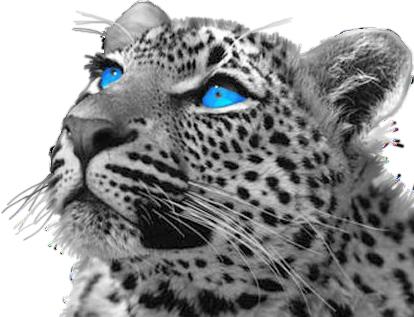 Images Zen - Page 2 24042012-panthere--felin-lion-bleu-gris-noir