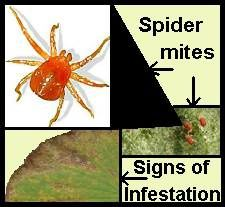 spider mites?  And grow lights... Corona-spider-mite