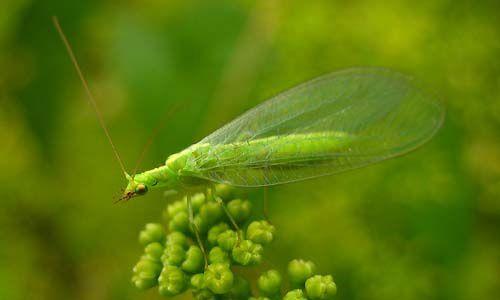 Bộ sưu tập côn trùng 2 - Page 24 Chrysoperla-affinis-5759