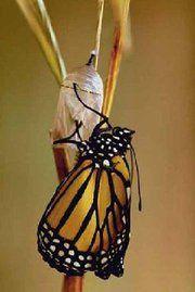 CC 2.47 (sujets - encore) Papillon-et-cocon