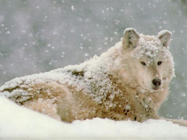 Le loup Loup-blanc-dans-la-neige