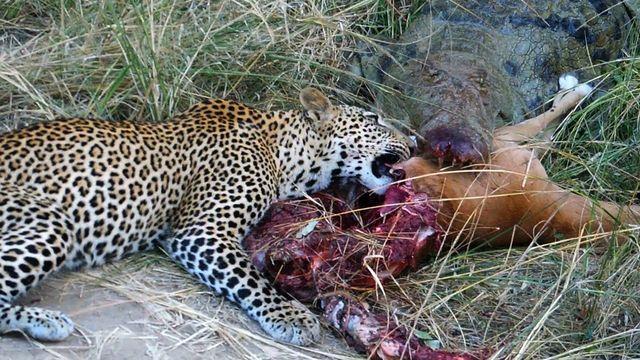 Jaguar venezuelano VS Leopardo macho monstro - Página 2 450819-Leopard-Vs-Crocodile