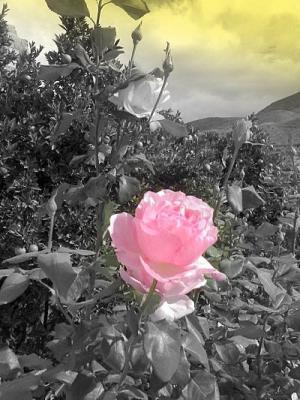 BUSQUEMOS HERMOSAS FLORES - Página 4 20061106192804-rosas-en-ablamini1