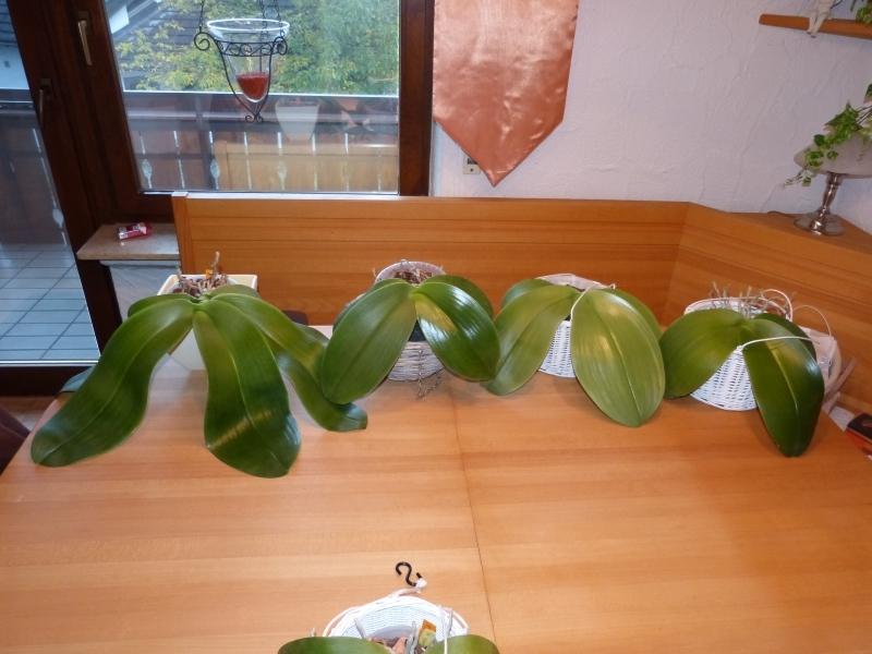 Phalaenopsis gigantea - Seite 5 001bxkdq
