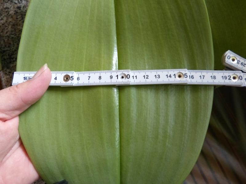 Phalaenopsis gigantea - Seite 5 001kpsbm