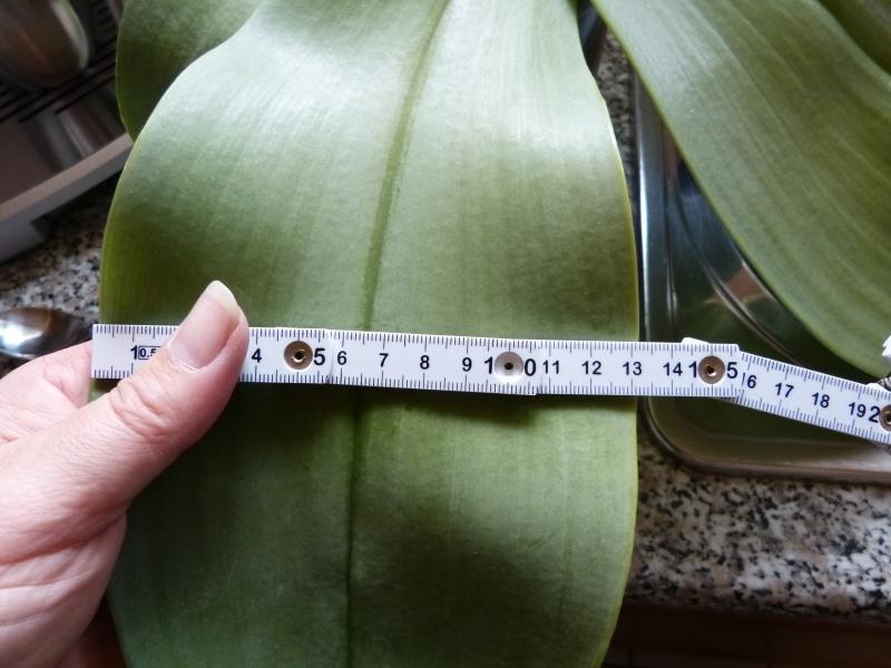 Phalaenopsis gigantea - Seite 5 00219stq