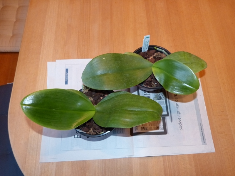 Phalaenopsis gigantea - Seite 5 002alprq