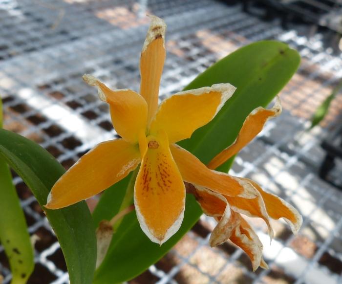Ich war in Schwabach bei MSB Orchideen 002scszu